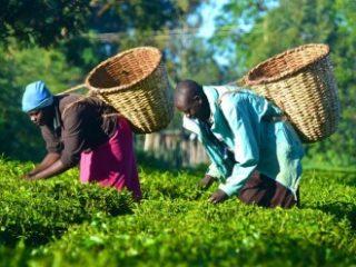 Kenijski pravi čaji
